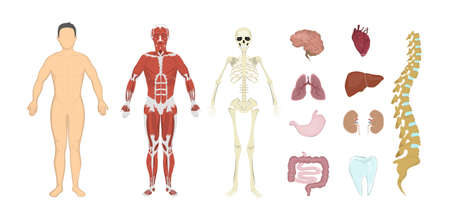 Whole human anatomy. All human body systems as skeleton, skin, organs and muscles. Male body.