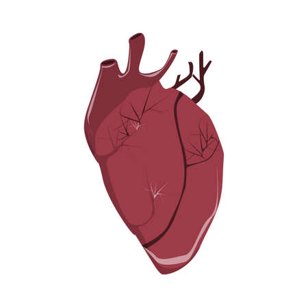 myocardium: Isolated realistic human heart on white background. Human anatomy. Organ with artery, aorta, blood and more.