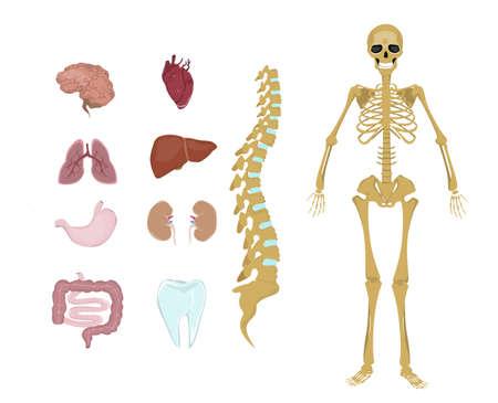 anatomía humana entera. Todos los sistemas del cuerpo humano como esqueleto, órganos y músculos.