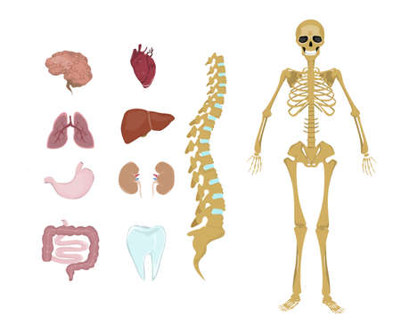 cns: Whole human anatomy. All human body systems as skeleton, organs and muscles. Illustration