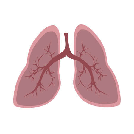 respire: Realistic isolated human lungs on white background. Body organ. Human anatomy.