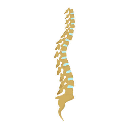 sacral spine: Realistic isolated human spine on white background. Body skeleton. Human anatomy.