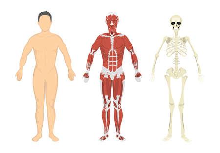 Menselijk lichaam, spieren en skelet. Menselijke anatomie set.