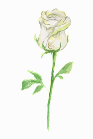 dainty: Isolated watercolor white rose on white background. Wonderful and dainty flower. Illustration