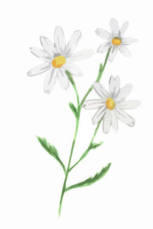 camomile flower: Isolated watercolor camomile on white background. Beautiful and gentle flower. Romantic decoration.