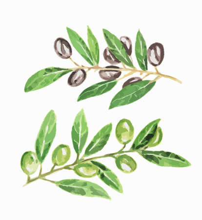 black circle: Isolated watercolor green and black olives on white background. Delicious food for salad and cooking.