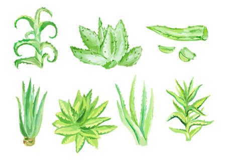 알로에 베라 set.Isolated 선인장 흰색 배경에 설정합니다. 건강 관리 및 장식을위한 아름답고 건강한 식물.