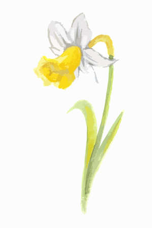 narcissus: Isolated watercolor narcissus on white background. Beautiful and elegant flower. Illustration