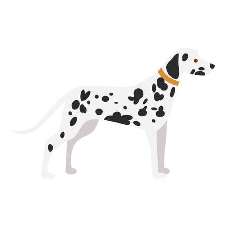 dalmatian puppy: Isolated dalmatian dog on white background. Beautiful dog with black spots and collar.