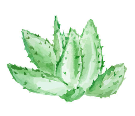 Watercolor aloe vera.Isolated cactus on white background. Beautiful and healthy plant for health care and decoration.