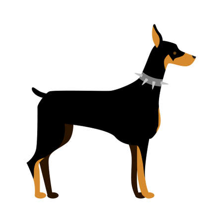 Isolated doberman dog. Isolated purebred dog standing on white background.