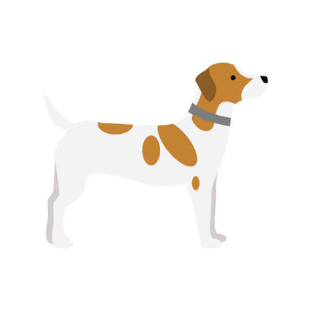 Jack russell terrier dog. Isolated purebred dog standing on white background.