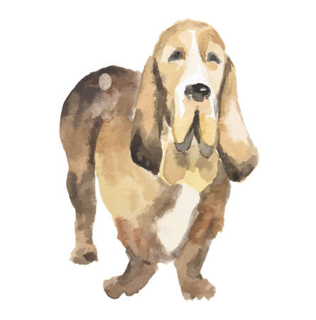 basset hound: Isolated watercolor dog standing on white background. Basset Hound.