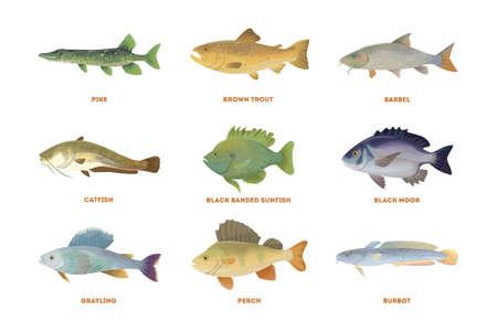 Conjunto de peces del río. Pescado aislado en el fondo blanco. Foto de archivo - 76247482