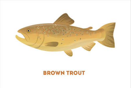 Isolated brown trout fish on white background. Fresh food.