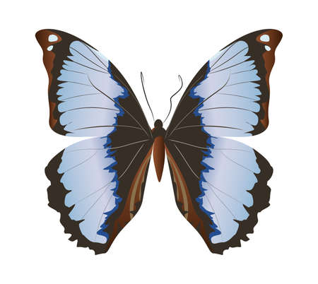 admiral: Isolated beautiful butterfly on white background. Grey and black colors.
