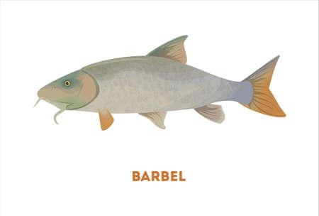 barbus: Isolated barbel fish on white background. Fresh food. Illustration
