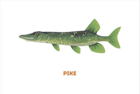 scaly: Isolated pike fish on white background. Fresh food.