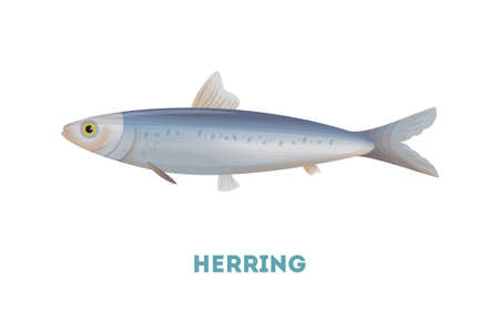 Isolated herring fish on white background. Seafood.