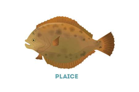 Isolated plaice fish.