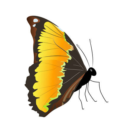 Isolated beautiful butterfly. Illustration