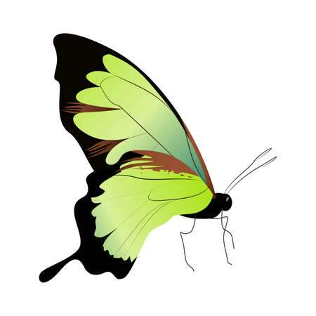 admiral: Isolated beautiful butterfly. Illustration