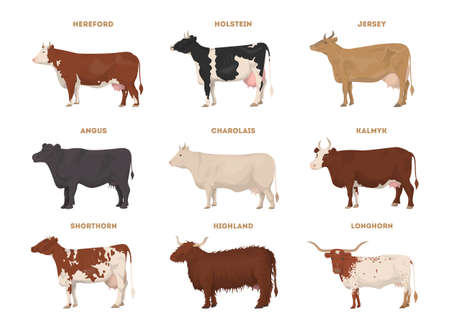 Cow set. Hereford, Holstein, Jersey, Angus, Charolais, Kalmyk, Shorthorn, Highland, Longhorn. Dairy cattle