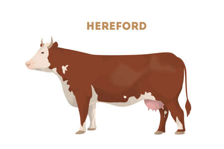 Isolated hereford cow on white background. Brown cow with good meat.