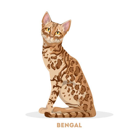 Isolated bengal cat on white background.