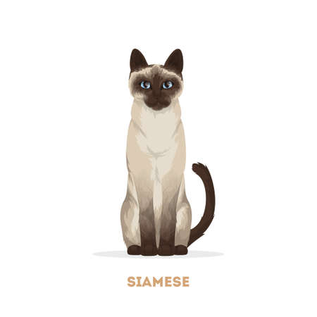Isolated siamese cat on white background.