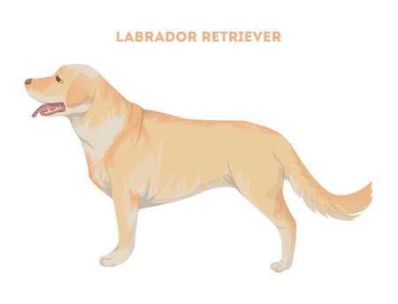 孤立したラブラドル ・ レトリーバー犬。  イラスト・ベクター素材