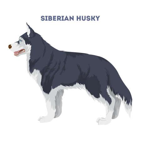 Husky siberiano aislado.