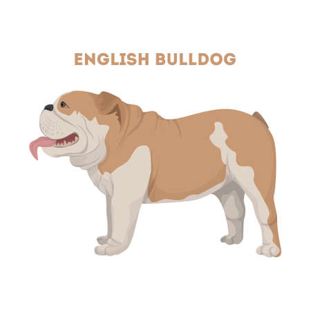 Isolated English bulldog. Illustration