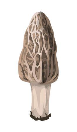 Isolated fresh morel mushroom on white background.
