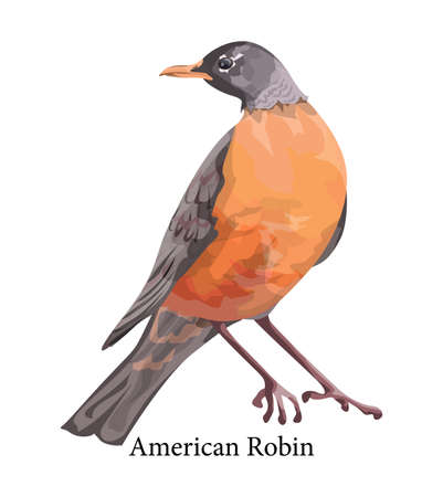 American robin exotic realistic bird with colorful feather. Wildlife and nature concept. Isolated vector illustration