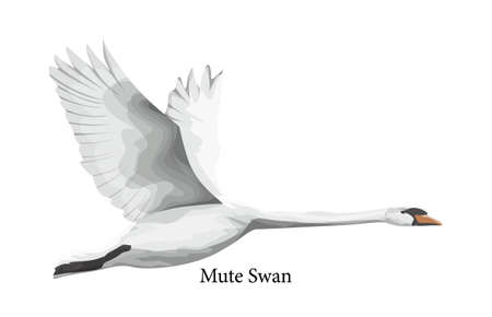 Mute swan white water bird in wildlife. Animal from the nature with beautiful feather. Isolated flat vector illustration