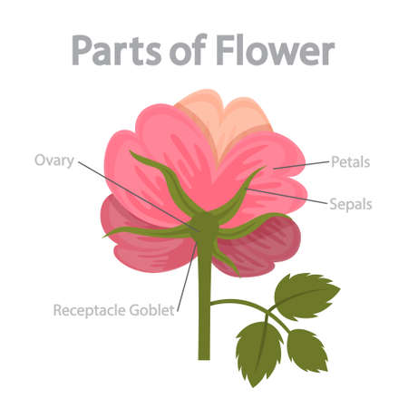 Flower part infographics. Biology and education concept. Flora anatomy. Ovary, petal and stigma. Isolated flat vector illustration Ilustração