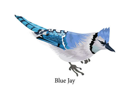 Blue jay bird with a colorful feather