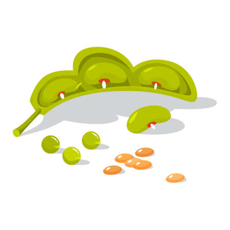 Fresh legumes. Natural organic bean. Vegetarian salad ingredient. Isolated vector illustration in cartoon style