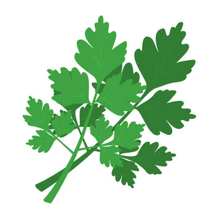 Green parsley branch. Fresh green healthy ingredient for cooking. Organic plant. Aromatic vegetable. Isolated vector illustration in cartoon style