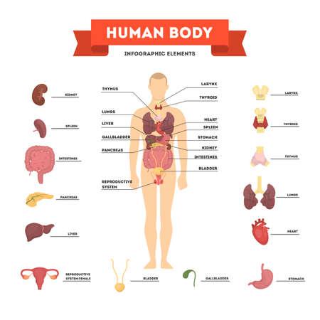 Concepto de anatomía humana. Cuerpo masculino con conjunto de órganos internos. Intestino, corazón, hígado y estómago. Concepto de medicina y ciencia. Ilustración de vector aislado en estilo de dibujos animados