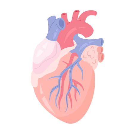 Isolated vector illustration of the human heart with aorta and vein. Anatomy of human body, blood system studying. Illustration