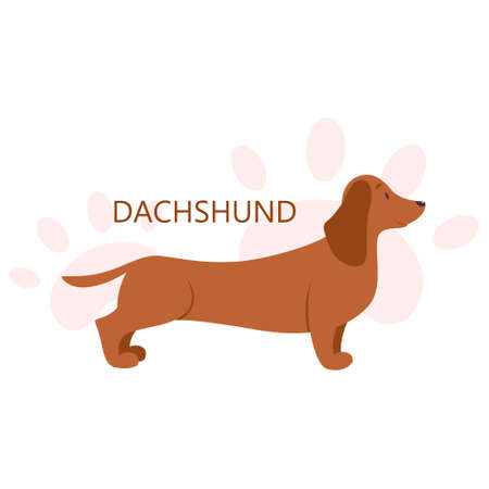 Dachshund. Beautiful purebred dog. Cute funny domestic pet. Ilustração