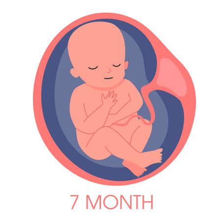 Embryo im siebten Monat der Gebärmutter. Entwicklung und Wachstum des Fötus während Vektorgrafik