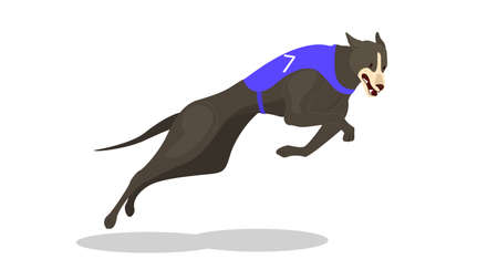 Running purebred dog in coursing dress. Dog racing concept.