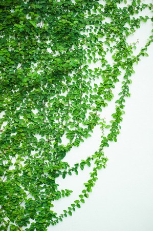 creeper: The Green Creeper Plant on a White Wall