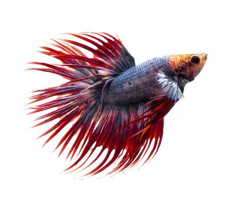 aquarium hobby: siamese fighting fish, betta fish isolated on white background. Stock Photo