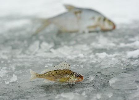 Winter fishing catch. Big and small fish contrast photo