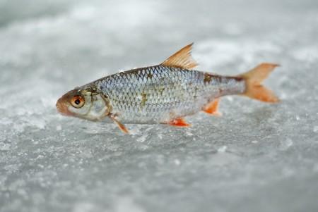 winter fishing catch photo
