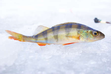 jigging: perch fish with rod on blue ice